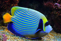Angelfish blu Fotografie Stock