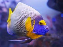 Angelfish blue Stock Photo