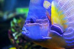 Angelfish blue Stock Photography