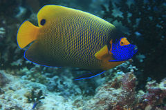 angelfish blueface Zdjęcia Stock