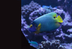 Angelfish Bluefaced, xanthometopon Pomacanthus Стоковые Фото