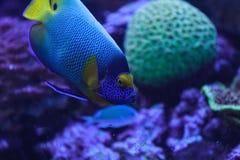 Angelfish Bluefaced, xanthometopon Pomacanthus Стоковые Изображения