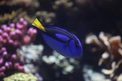 Angelfish Bluespotted Стоковые Изображения RF