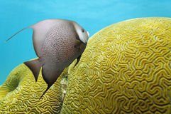 Angelfish and brain coral Stock Photo