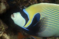 angelfish cesarz Fotografia Stock
