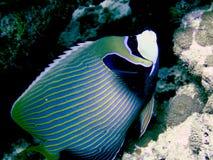 angelfish cesarz Obraz Royalty Free