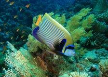 angelfish cesarz Zdjęcie Royalty Free