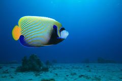 angelfish cesarz Fotografia Royalty Free