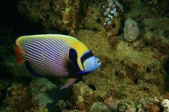angelfish cesarz Obrazy Stock