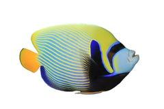 angelfish cesarz Zdjęcie Stock