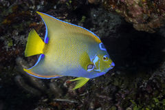 angelfish ciliaris holacanthus latin imienia królowa Obrazy Royalty Free