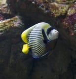 Angelfish d'empereur Images libres de droits