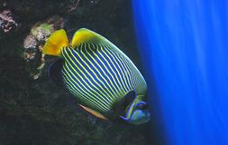 Angelfish d'empereur Photo libre de droits