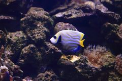 Angelfish d'empereur Photographie stock