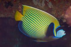 Angelfish d'empereur (imperator de Pomacanthus) Images libres de droits