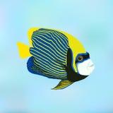Angelfish d'empereur Imperator de Pomacanthus Illustration de vecteur de illustration libre de droits