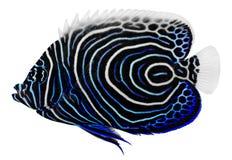 Angelfish d'empereur. Pomacanthus Imperator images libres de droits