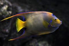 Angelfish da rainha fotos de stock royalty free