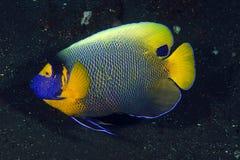 angelfish de la Azul-cara (xanthometopon del Pomacanthus) Foto de archivo