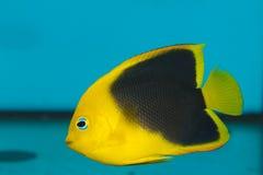 Angelfish de la belleza de roca en acuario imágenes de archivo libres de regalías
