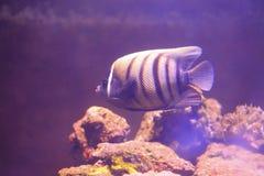 Angelfish de Sixbar Fotos de archivo libres de regalías