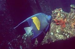 Angelfish de Yellowbar Photos stock