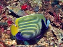 Angelfish del emperador Fotografía de archivo libre de regalías