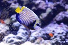 Angelfish del emperador Fotografía de archivo