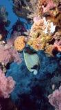 Angelfish del emperador Fotos de archivo