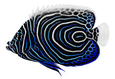 Angelfish del emperador. Pomacanthus Imperator Imágenes de archivo libres de regalías