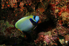 Angelfish dell'imperatore Immagine Stock