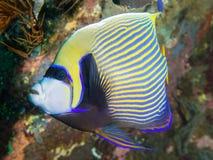 Angelfish dell'imperatore Immagini Stock Libere da Diritti