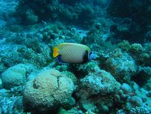 Angelfish dell'imperatore Fotografie Stock