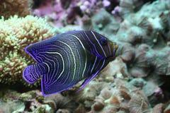 Angelfish dell'imperatore immagine stock libera da diritti