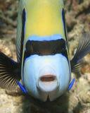 Angelfish dell'imperatore Fotografie Stock Libere da Diritti