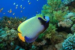 Angelfish dell'imperatore Fotografia Stock