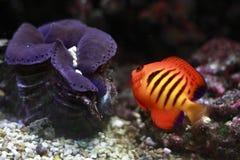 Angelfish della fiamma fotografia stock libera da diritti