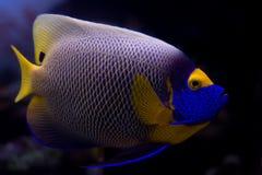 Angelfish di Blueface fotografie stock