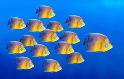Angelfish di corallo tropicale dei pesci isolato Immagine Stock
