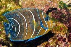 Angelfish di Koran in acquario Fotografia Stock
