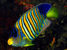 angelfish diacanthus pygoplites βασιλοπρεπές Στοκ εικόνα με δικαίωμα ελεύθερης χρήσης