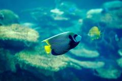 Angelfish do imperador Fotografia de Stock Royalty Free