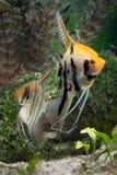 Angelfish dois imagem de stock royalty free