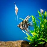 Angelfish dopłynięcie Zdjęcia Stock
