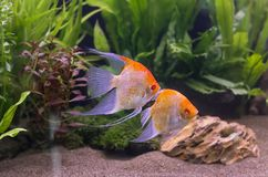 Angelfish dopłynięcie w akwarium zbiorniku Zdjęcia Stock