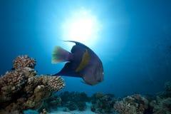 Angelfish e oceano árabes foto de stock