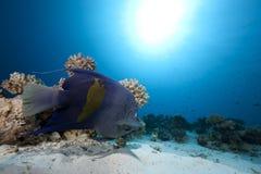 Angelfish e oceano árabes imagens de stock