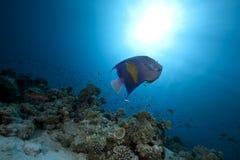 Angelfish e oceano árabes fotografia de stock royalty free