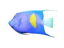 Angelfish em um branco Fotos de Stock Royalty Free