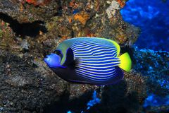 angelfish emperor Стоковое Фото
